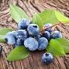 Листья черники – полезные свойства и противопоказания