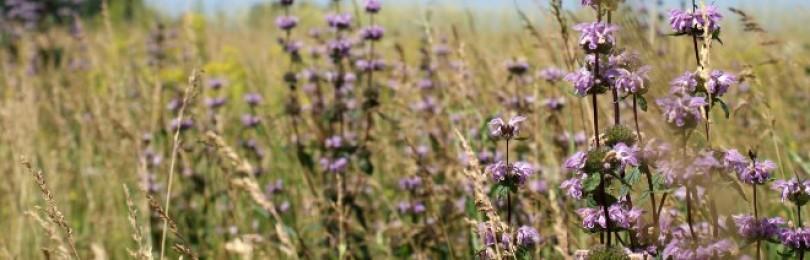 Зопник – трава для здоровья и красоты