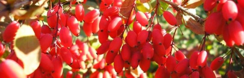 Барбарис — полезные свойства и применение