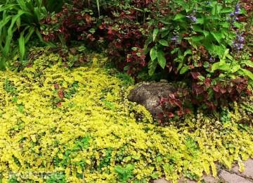 Вербейник монетчатый – травяной чай