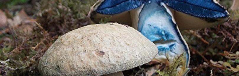 Гиропорус синеющий – что за гриб