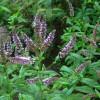 Мята перечная (лат. Mentha piperita) – лечебные свойства и противопоказания