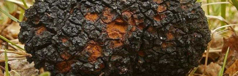 Чага (лат. Inonotus obliguus) – лечебные свойства и противопоказания