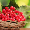 Калина красная (лат. Viburnum) – лечебные свойства и противопоказания, фото и рецепты
