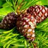 Сосновые шишки – лечебные свойства и противопоказания