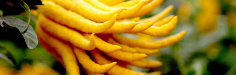 Рука Будды — цитрус