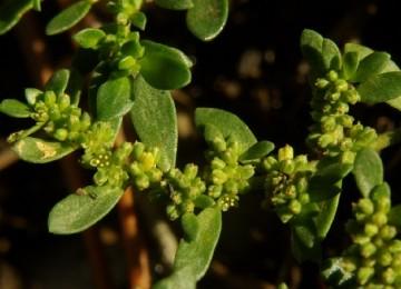 Трава грыжник – лечебные свойства