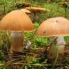 Колпак кольчатый – отличный съедобный гриб
