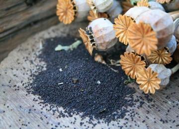 Семена мака – польза и вред для здоровья