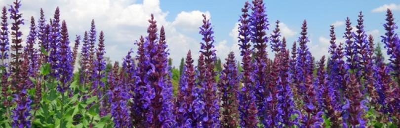Шалфей лекарственный (лат. Salvia officinalis)– лечебные свойства и противопоказания