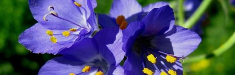 Трава синюха голубая – применение и противопоказания