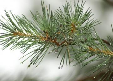 Ветка сосны – лечебные свойства и противопоказания