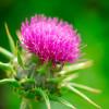 Расторопша пятнистая (Silybum marianum. L) – целебные свойства
