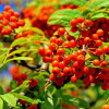 Красная рябина (лат. Sorbus) – лечебные свойства и противопоказания