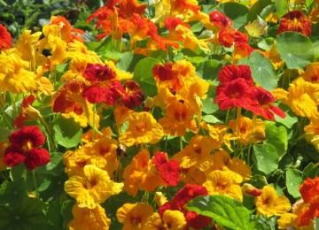 Настурция — выращивание