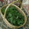 Листья крапивы – полезные свойства и правила применения (Urtica dioica L.)