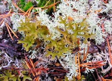 Исландский мох: лечебные свойства и рецепты