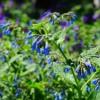 Трава окопник – лечебные свойства и противопоказания