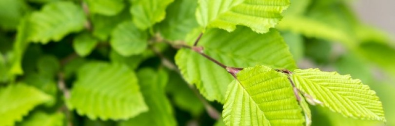 Лист орешника – лечебные свойства и противопоказания