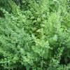 Мелисса лекарственная (лат. Melissa officinalis) – лечебное применение, народные рецепты и фото растения