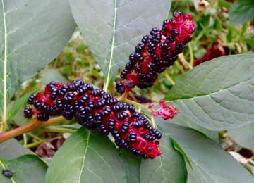 Лаконос американский – лечебные и полезные свойства ягоды