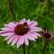 Эхинацея (лат. Echinacea) – лечебные свойства и противопоказания
