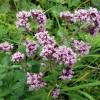 Душица – лечебные свойства и противопоказания (Oriqanum vulgare)