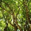 Чайное дерево — свойства и применение в домашних условиях