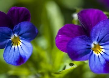 Фиалка трехцветная – лечебные свойства