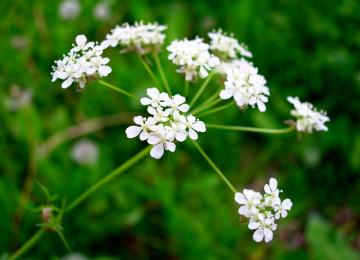 Настойка болиголова – лечебные свойства и применение