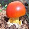 Царский гриб – лечебные свойства