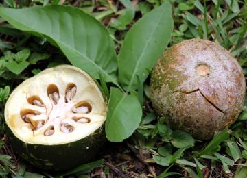 Баиль – мармеладное дерево