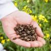 Подмор пчелиный – от каких болезней помогает