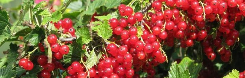 Красная смородина – польза и вред для здоровья