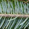 Хвоинки пихты – лечебные свойства