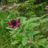 Сабельник болотный – лечебные свойства и применение (Comarum palustre L.)