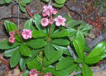 Трава зимолюбка – лечебные свойства и противопоказания