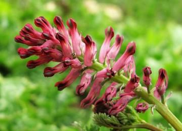 Дымянка – лечебные свойства и противопоказания