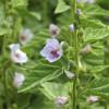 Применение Алтея лекарственного (лат. Althaea officialis) и сиропа из корней в лечебных целях