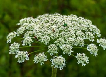 Борщевик – полезное и опасное растение
