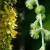 Трава репешок – что лечит, инструкция к применению