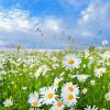Ромашка аптечная – лечебные свойства и противопоказания (Chamomilla officinalis)