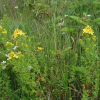 Зверобой продырявленный или обыкновенный (Hypericum perforatum L.)