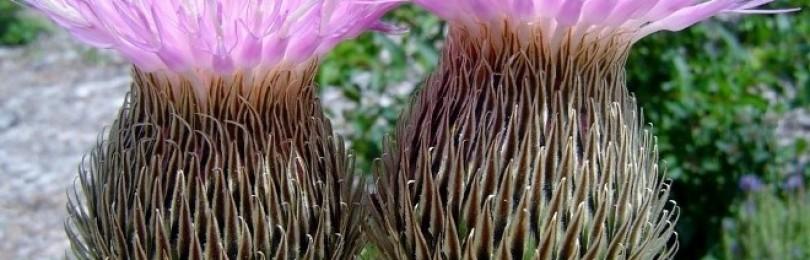 Маралий корень – лечебные свойства и применение