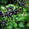 Санберри – целебные свойства и противопоказания