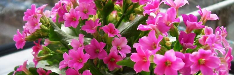Каланхоэ (лат. Kalanchoe) – лечебные свойства и противопоказания