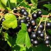 В чем польза черной смородины