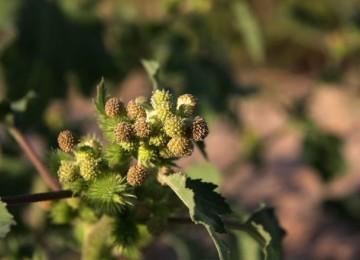 Трава дурнишник – лечебные свойства и противопоказания