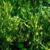 Мед донниковый – полезные свойства и противопоказания