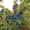 Можжевельник (лат. Juniperus) – лечебные свойства и противопоказания